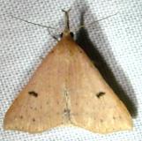 8356 Stone-winged Owlet Moth Kissimmee Prairie St Pk 3-10-12