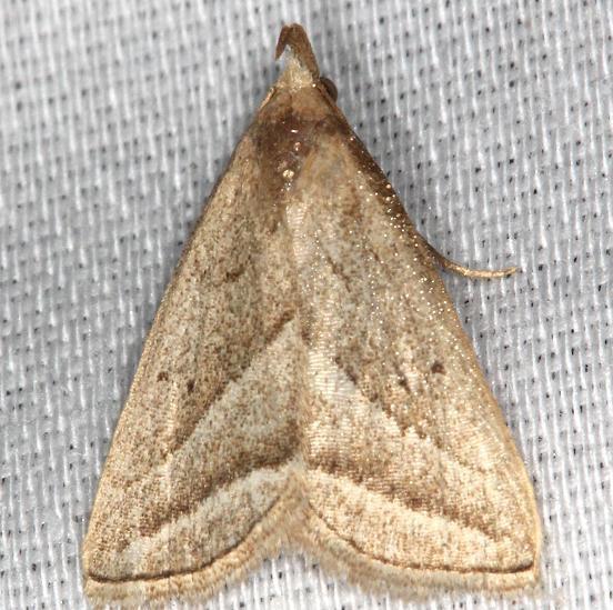 8357 Slant-lined Owlet Moth yard 8-10-13
