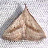 8357.1 Twin-dotted Macrochilo Moth Kissimmee Prairie St Pk 3-10-12