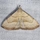 8358 Brown-lined Owlet Moth yard 8-6-13