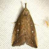 8360 Bronzy Macrochilo Moth Kissimmee Prairie St Pk 3-8-12