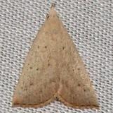 8361 Louisiana Macrochilo Moth Kissimmee Prairie St Pk 3-10-12