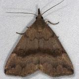 8363 Dark Phalaenostola Moth yard 7-2-14