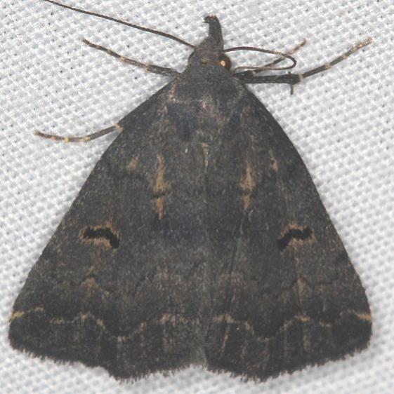 8365 Hanham's Owlet Moth Lake of the Woods Ash Rapids Lodge 7-16-17 (54)_opt