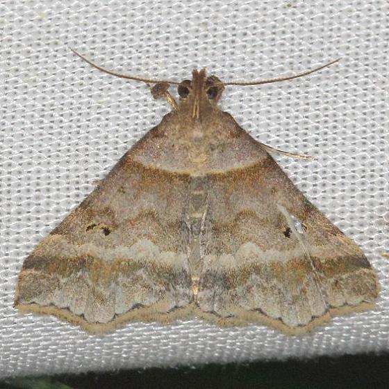 8365.97 Unidentified Phalaenostola Moth yard 5-29-13