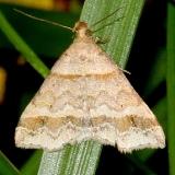 8365.97 Unidentified Phalaenostola Moth Denison Bio-Preserve Granville Oh 6-3-15