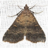 8366 Smoky Tetanolita Moth Little Talbot Island St Pk 2-21-13