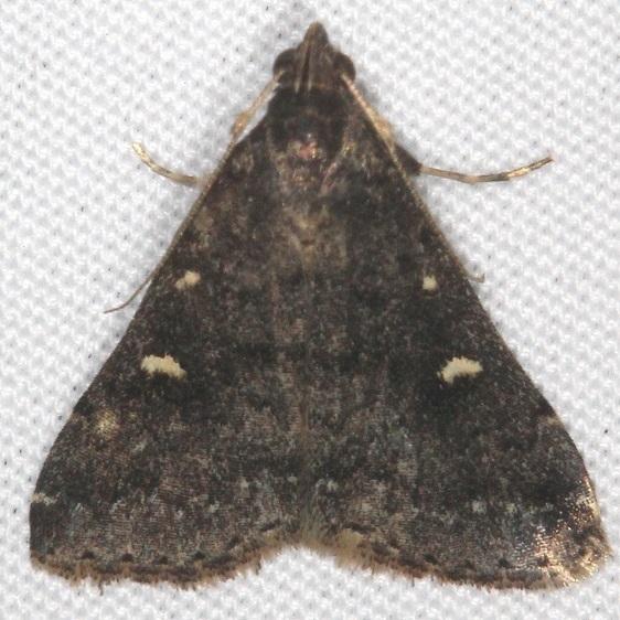 8366 Smoky Tetanolita Moth yard 10-23-15