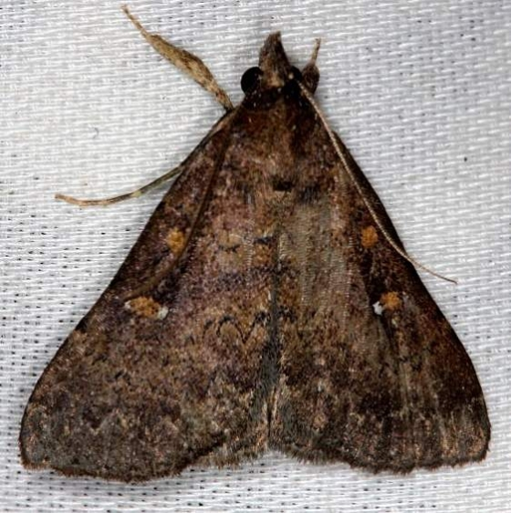 8367 Long-horned Owlet Moth Collier Seminole St Pk 3-2-14