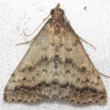8368 Florida Tetanolita Moth Little Talbot Island St Pk 2-21-13