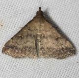 8368 Florida Tetanolita Moth yard 8-7-12_opt