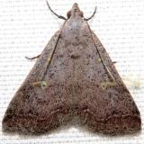 8370 Bent-winged Owlet Moth Lake Kissimmee St Pk Fl 2-28-13