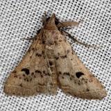 8370 Bent-winged Owlet Moth NABA Gardens Texas 11-3-13