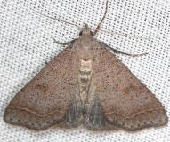 8370 Bent-winged Owlet Moth yard 5-29-13