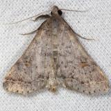 8370 Bent-winged Owlet Moth yard 6-2-13