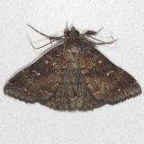 8376 Long-horned Owlet Moth Bader's house Palm Coast Fl 3-21-15