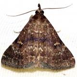 8376 Long-horned Owlet Moth Lake Kissimmee St Pk Fl 2-27-13