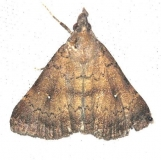 8378 Long-Horned Owlet Moth Mahogony Hammock 2-18-14