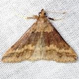 8379 Sociable Renia Moth Shawnee St Pk Oh 6-15-13
