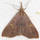 8381 Discolored Renia Moth Little Talbot Island State Pk Fl 2-19-13