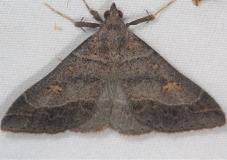 8384.1 Yellow-spotted Renia Moth Lake of the Woods Ontario 7-23-16 (2a)_opt