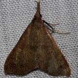 8385 Fraternal Renia Moth Kissimmee Prairie St Pk 3-11-13