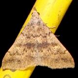 8387 Sober Renia Moth Juniper Springs Ocala Natl 3-13-12