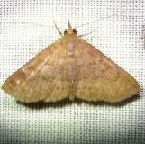8391 Dotted Carteris Moth Kissimmee Lake St Pk 2-24-12