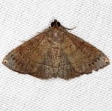 8391 Dotted Carteris Moth Lucky Hammock Everglades 2-23-14