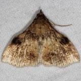 8392 Phlyctaina irrigualis worn Little Manetee River St Pk 3-10-15
