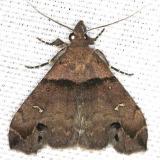 8393 Ambiguous Moth male yard 4-26-13