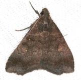 8395 Lascoria alucitalis BG Lucky Hammock Everglades 2-23-14