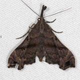 8396 Lascoria orneodalis Rodman Campground Fl 3-20-14