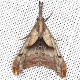 8397 Dark-spotted Palthis Moth yard 5-19-13