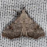 8400 Pygmy Redectis Moth Collier Seminole St Pk 2-25-14