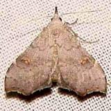 8400 Redectis pygmaea Collier Seminole St Pk 3-19-11