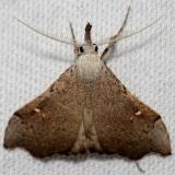 8401 White-spotted Redectis Moth Lake Kissimmee St Pk 3-1-13