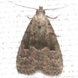 8420 Large Hypenodes Moth Mahogany Hammock Everglades Natl Pk 3-10-13