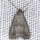 8421 Broken-line Hypenodes Moth Thunder Lake UP Mich 6-23-13