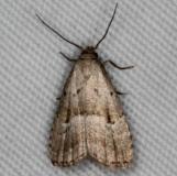 8422 Hypenodes palustris Thunder Lake UP Mich 6-24-15 (3)