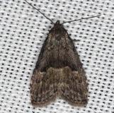 8426 Visitation Moth Rodman Campground Fl 3-21-14