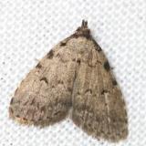 8427 Spot-edged Dyspyralis Leslie's House Tenn 8-25-12