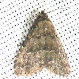 8428 Dyspyralis nigellus Grasshopper Lake Ocala Natl 3-15-12