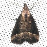 8431 Black-spotted Schrankia Moth Collier Seminole St Pk 2-25-14
