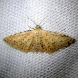 8433 Sigela penumbrata Undescribed Sigela Pineland Everglades Natl Pk 3-8-13