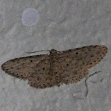 8434 Sigela basipunctaria Kissimmee Prairie St Pk 3-12-13