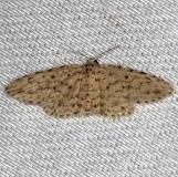 8434 Sigela basipunctaria Collier Seminole St Pk 3-2-14