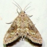 8435.96 New genus and species near Sigela CREW marsh Fl 3-6-12