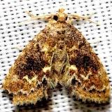 8435.96 New genus and species near Sigela Moth Lake Kissimmee St Pk Fl 2-28-13