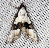8440 Thin-winged Owlet Moth Collier Seminole St Pk 3-2-14